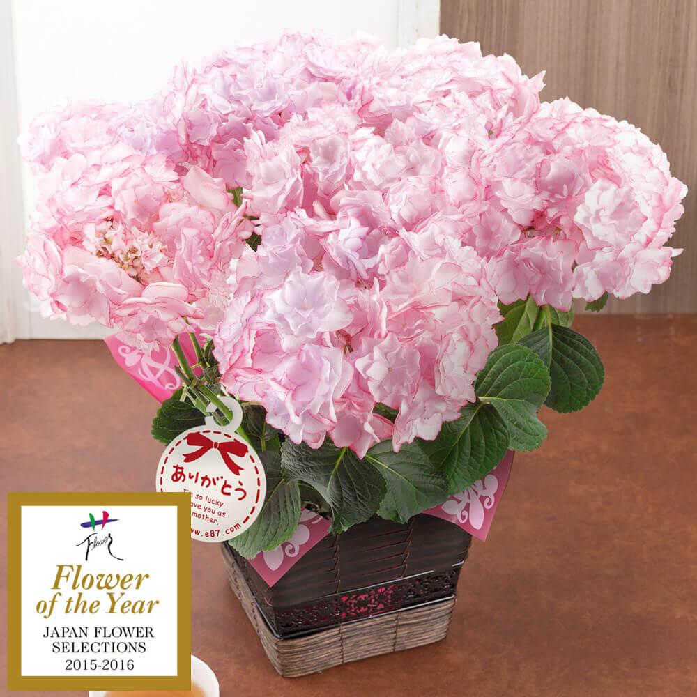 【母の日フラワーギフト】鉢植え「アジサイ KEIKO~フラワー・オブ・ザ・イヤー2015受賞~」